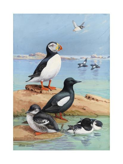 A Painting of an Atlantic Puffin, Black Guillemots, and Dovekies-Allan Brooks-Giclee Print