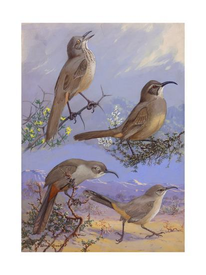 A Painting of Four Different Species of Thrasher-Allan Brooks-Giclee Print