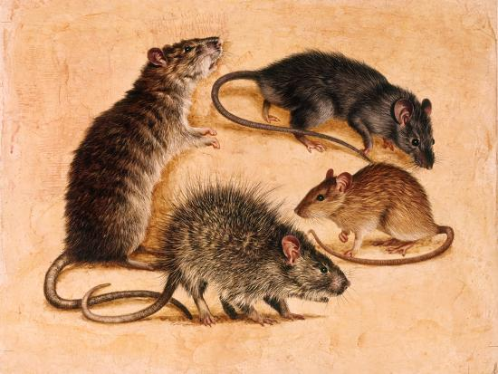 A Painting of Four Rat Species-William H. Bond-Giclee Print