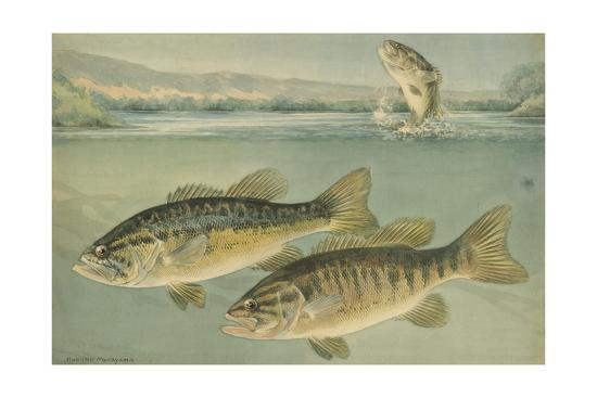 A Painting of Largemouth Bass (Upper) and Smallmouth Black Bass-Hashime Murayama-Giclee Print
