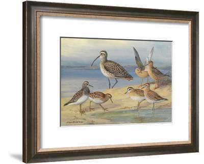 A Painting of Pairs of Several Species of Sandpiper and a Curlew-Allan Brooks-Framed Giclee Print
