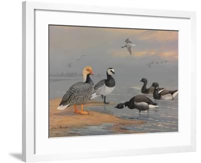 A Painting of Several Species of Brants and Geese-Allan Brooks-Framed Giclee Print