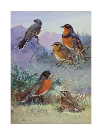 A Painting of Several Species of Robin-Allan Brooks-Giclee Print