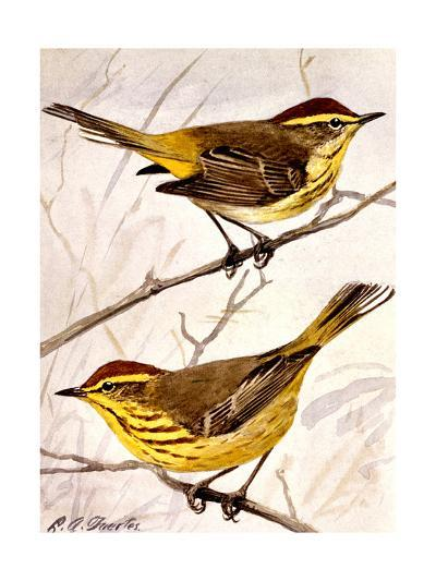 A Painting of the Palm Warbler and the Yellow Palm Warbler-Louis Agassi Fuertes-Art Print