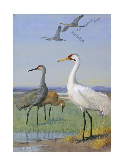 A Painting of Three Species of Cranes-Allan Brooks-Giclee Print