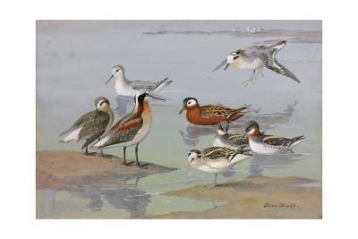 A Painting of Three Species of Phalaropes-Allan Brooks-Giclee Print