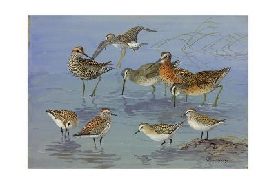 A Painting of Three Species of Sandpiper and an Eastern Dowitcher-Allan Brooks-Giclee Print