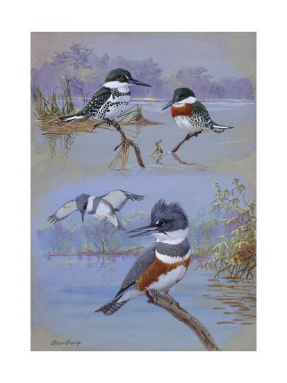 A Painting of Two Belted Kingfishers and Two Texas Green Kingfishers-Allan Brooks-Giclee Print