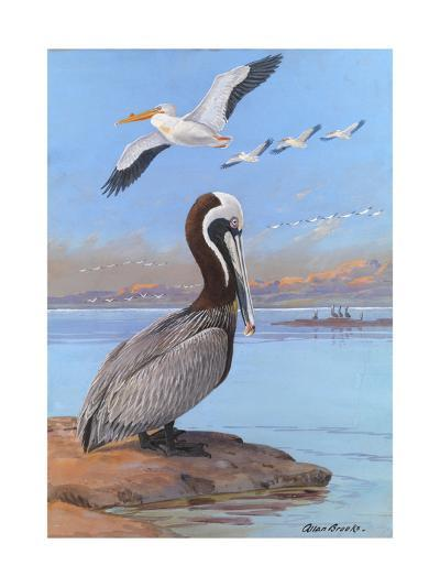 A Painting of Two Different Species of Pelican-Allan Brooks-Giclee Print