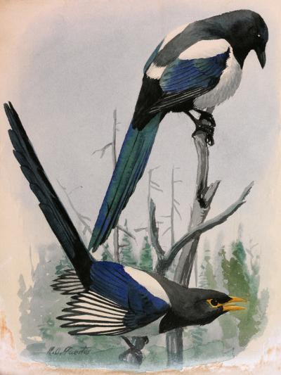 A Painting of Two Species of Magpie Perched on Tree Branches-Louis Agassi Fuertes-Giclee Print