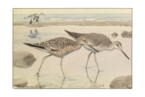 A Painting of Willets in Both Winter and Summer Plumage-Louis Agassi Fuertes-Giclee Print