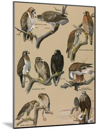 A Painting Portraying Various Species of Hawks-Louis Agassi Fuertes-Mounted Giclee Print