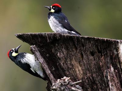 A Pair of Acorn Woodpeckers Find Their Food on a Tree at Rancho San Antonio Park--Photographic Print