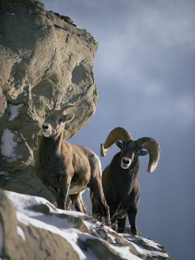 A Pair of American Bighorn Sheep on a Ledge-Michael S^ Quinton-Photographic Print