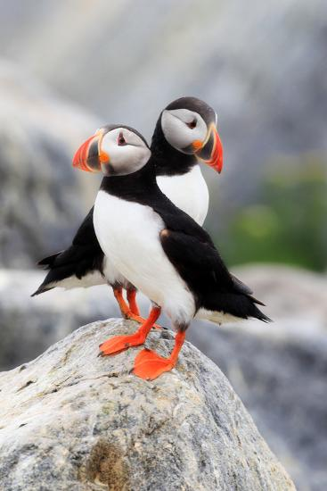 A Pair of Atlantic Puffins, Fratercula Arctica, Resting on a Rock Near their Nest-Robbie George-Photographic Print