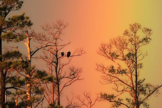 A Pair of Bald Eagles, Haliaeetus Leucocephalus, Illuminated by a Rainbow While Perched in a Tree-Robbie George-Photographic Print
