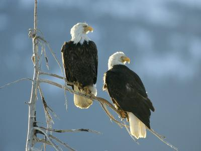 A Pair of Bald Eagles Perch on a Tree Branch-Klaus Nigge-Photographic Print