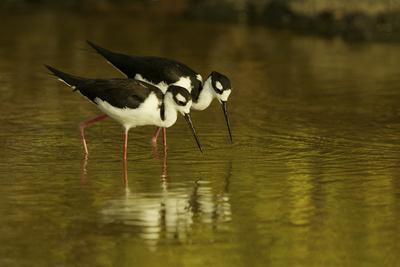 https://imgc.artprintimages.com/img/print/a-pair-of-birds-hunting-for-prey-in-water_u-l-po874e0.jpg?p=0
