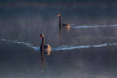 A Pair of Black Swan, Cygnus Atratus, on a Misty Lake in Brazil's Ibirapuera Park-Alex Saberi-Photographic Print