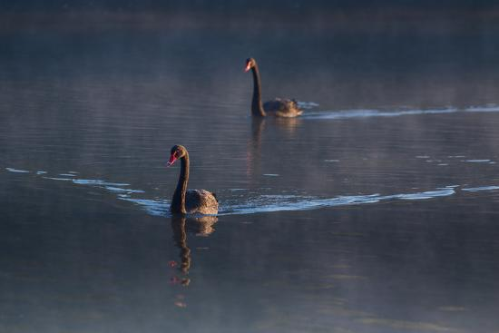 A Pair of Black Swan, Cygnus Atratus, on a Misty Lake in Brazil's Ibirapuera Park-Alex Saberi-Photographic Print