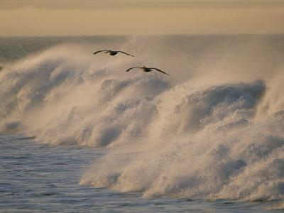 A Pair of Brown Pelicans Glides Above the Surf on Offshore Winds--Photographic Print