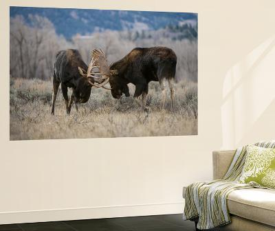 A Pair of Bull Moose, Alces Alces, Lock Antlers in the Sage Brush of Grand Teton National Park-Barrett Hedges-Wall Mural