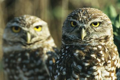 A Pair of Burrowing Owls on Florida's Gulf Coast-Klaus Nigge-Photographic Print