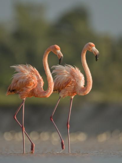 A Pair of Caribbean Flamingos in Display Behavior-Klaus Nigge-Photographic Print