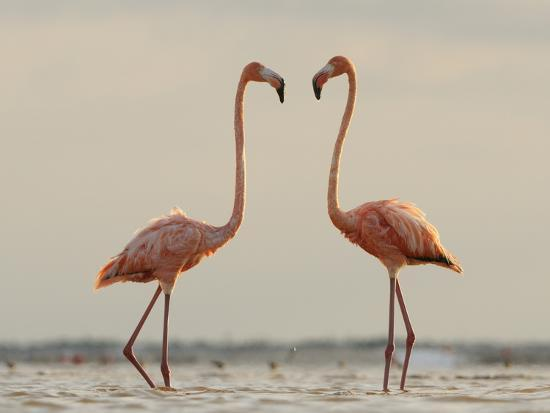 A Pair of Caribbean Flamingos Prepare to Fight in a Lagoon-Klaus Nigge-Photographic Print