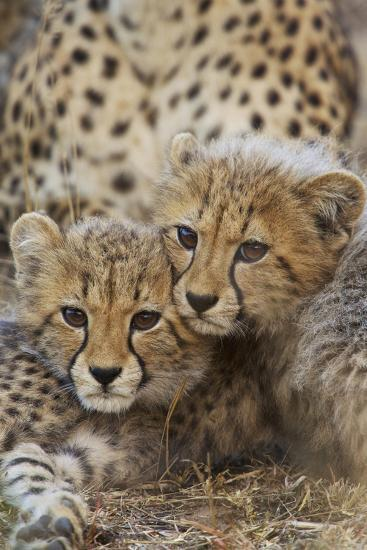 A Pair of Cheetah Cubs, Acinonyx Jubatus, in Phinda Game Reserve, South Africa-Steve Winter-Photographic Print