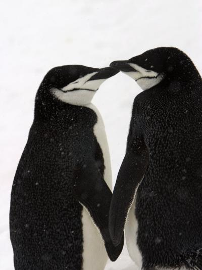 A Pair of Chinstrap Penguins in a Courtship Cuddle-Ralph Lee Hopkins-Photographic Print
