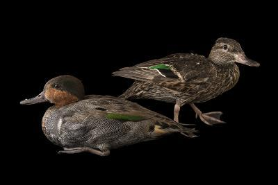 A Pair of Common Teal, Anas Crecca, at the National Mississippi River Museum and Aquarium-Joel Sartore-Photographic Print