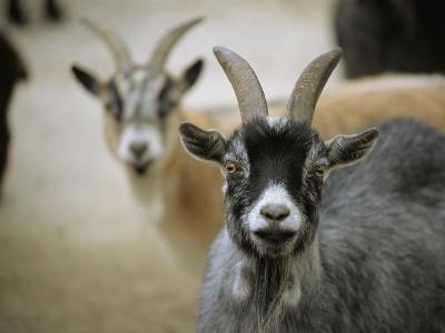 A Pair of Domestic Goats, Capra Hircus Hircus-Joel Sartore-Photographic Print