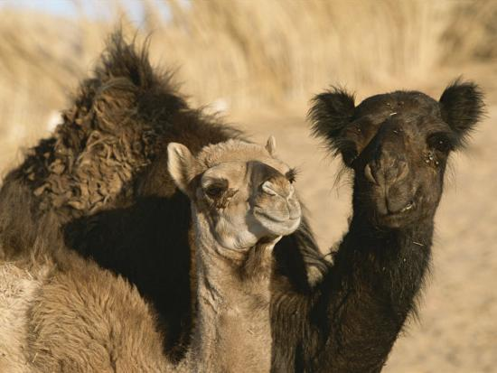 A Pair of Dromedary Camels Pose Proudly in the Sahara Desert-Peter Carsten-Photographic Print