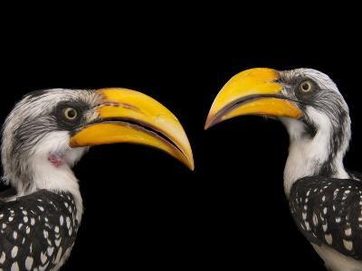 A Pair of Eastern Yellow-Billed Hornbills, Tockus Flavirostris, at the Indianapolis Zoo-Joel Sartore-Photographic Print