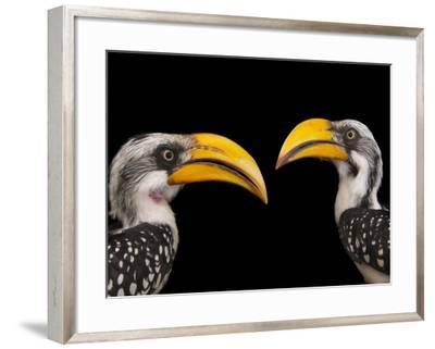 A Pair of Eastern Yellow-Billed Hornbills, Tockus Flavirostris, at the Indianapolis Zoo-Joel Sartore-Framed Photographic Print