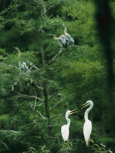 A Pair of Egrets and a Pair of Anhingas Sit on Tree Branches-Taylor S^ Kennedy-Photographic Print