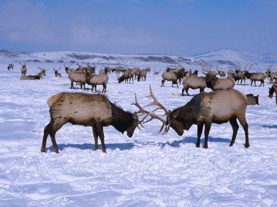 https://imgc.artprintimages.com/img/print/a-pair-of-elk-lock-antlers-at-the-national-elk-refuge-jackson-hole-wyoming-usa_u-l-p4bof90.jpg?p=0