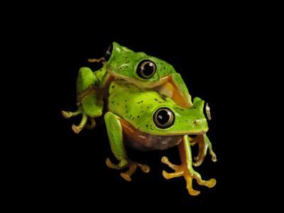 A pair of endangered lemur leaf frogs-Joel Sartore-Photographic Print