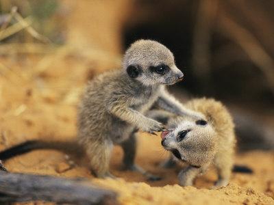 https://imgc.artprintimages.com/img/print/a-pair-of-four-week-old-meerkat-pups-romp-near-their-burrow_u-l-p3jwhr0.jpg?p=0