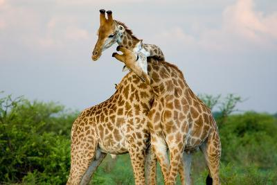 A Pair of Giraffe Entwining their Necks- Tim_Booth-Photographic Print