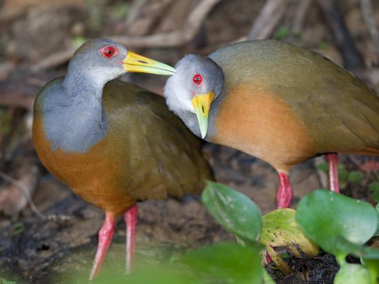 A Pair of Gray-Necked Woodrails, Aramides Cajanea, Grooming-Roy Toft-Photographic Print