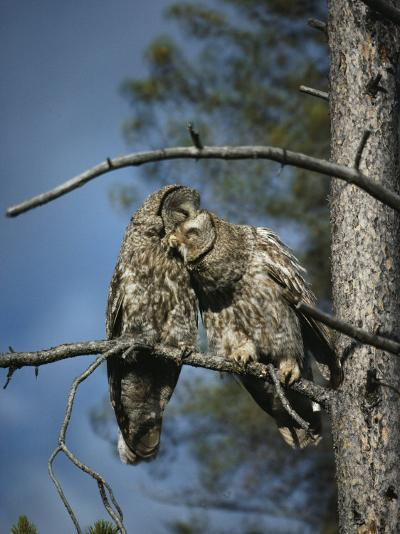 A Pair of Great Gray Owls Preening-Michael S^ Quinton-Photographic Print