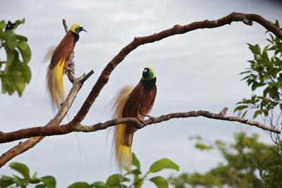 A Pair of Greater Birds of Paradise Perch in a Tree At Their Display Site-Tim Laman-Photographic Print