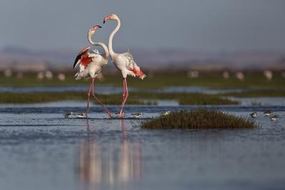 A Pair Of Greater Flamingoes Strut And Posture Close To Pelican Point, In Walvis Bay-Karine Aigner-Photographic Print