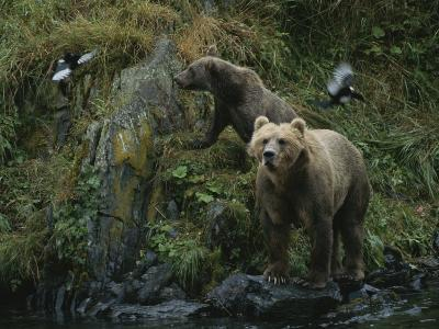 A Pair of Grizzly Bears Spook Some Birds at Waters Edge-Karen Kasmauski-Photographic Print