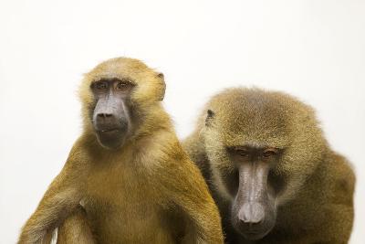 A Pair of Guinea Baboons, Papio Papio, at the Indianapolis Zoo.-Joel Sartore-Photographic Print
