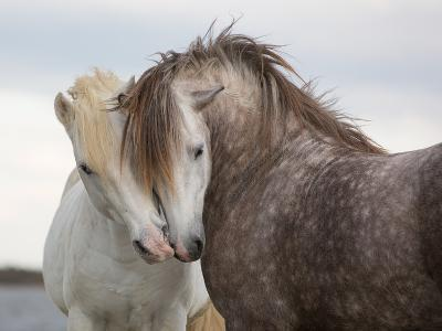 A Pair of Horses Kissing with their Heads Leaning on One Another- Tim_Booth-Photographic Print