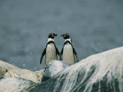A Pair of Humboldt, or Peruvian, Penguins on a Rocky Shore-Joel Sartore-Photographic Print