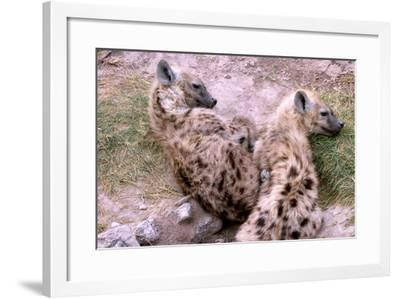 A Pair of Hyena Cubs Curled Up for a Nap-Shannon Switzer-Framed Photographic Print